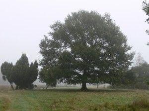 Juniperus communis en Quercus robur